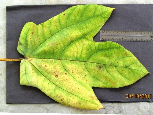 Ficus fulva Ranau 07.JPG