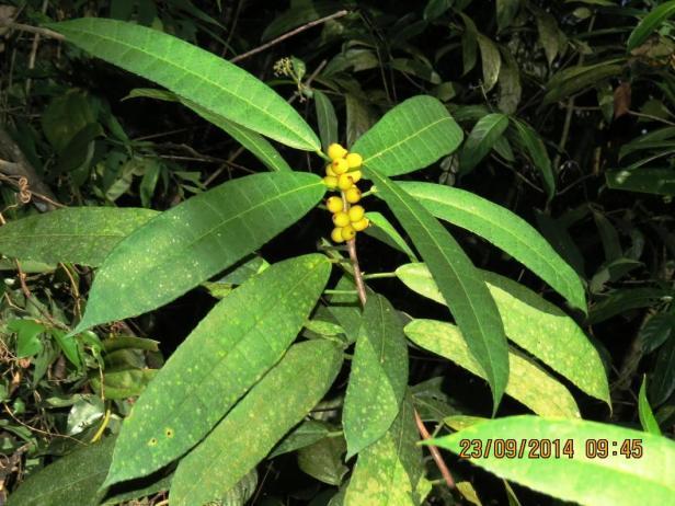 Ficus inaequipetiolata 05 narrow.JPG