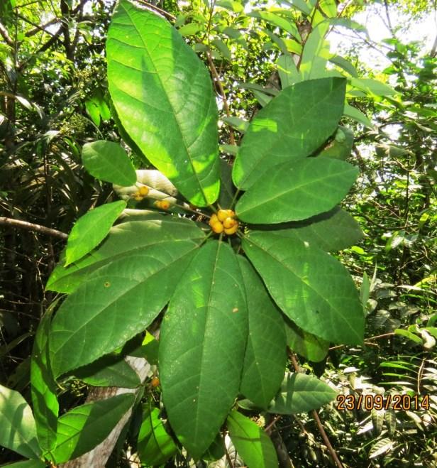 Ficus inaequipetiolata Broad 01.JPG