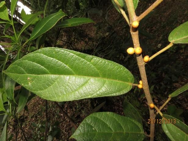Ficus  inaequipetiolata Rafflesia Centre 01.JPG