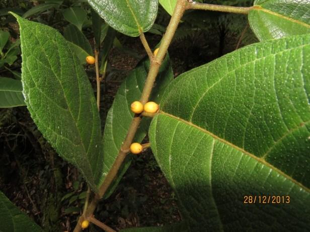 Ficus  inaequipetiolata Rafflesia Centre 02.JPG