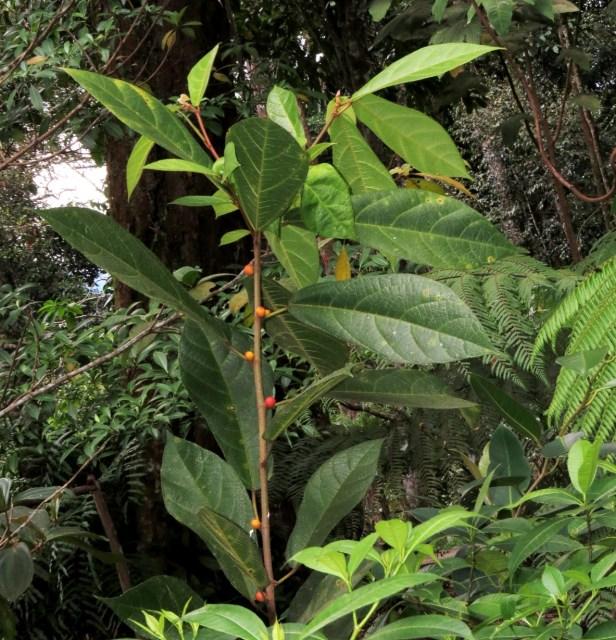 Ficus  inaequipetiolata Rafflesia Centre 04.JPG
