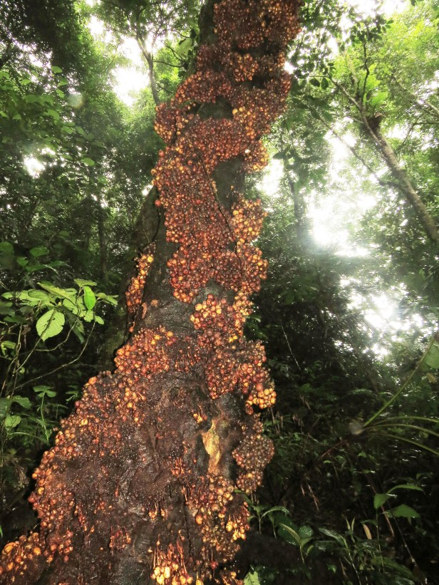 Ficus leptogramma Crocker Range 04 .JPG