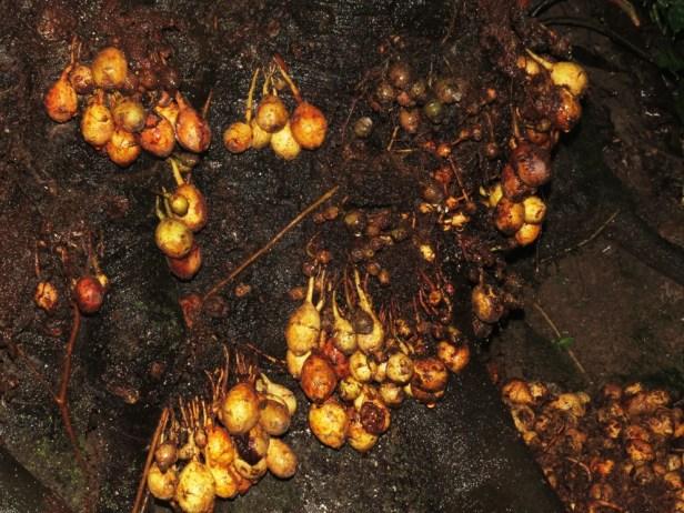 Ficus leptogramma Crocker Range 05 .JPG