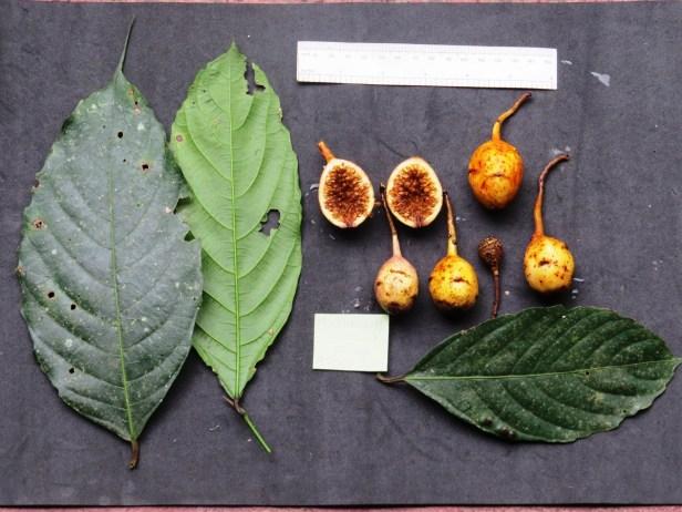 Ficus leptogramma Crocker Range 09 .JPG