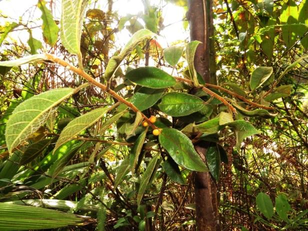 Ficus setiflora Long Pasia 02 .JPG