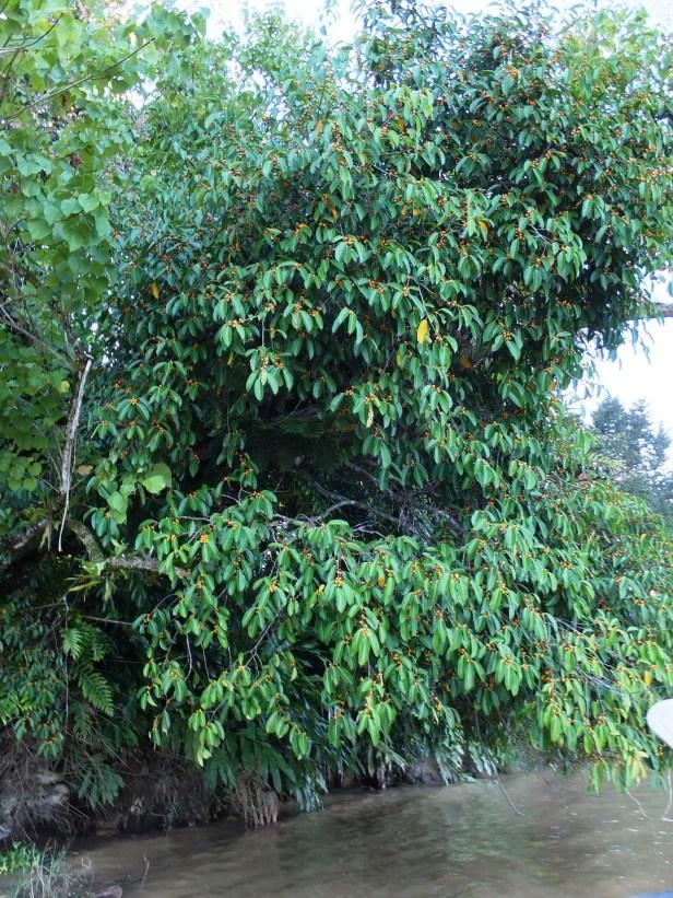 Ficus sundaica B Kinabatangan Anthea Lamb Aug 2013 02.JPG