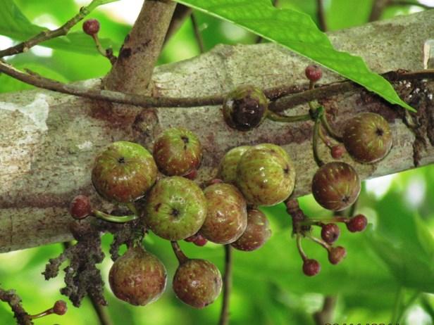 Ficus variegata Nexus Resort  03  .JPG