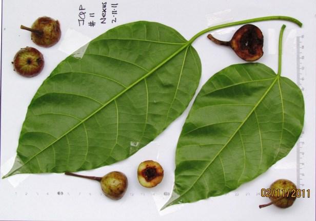 Ficus variegata Nexus Resort  07  .JPG