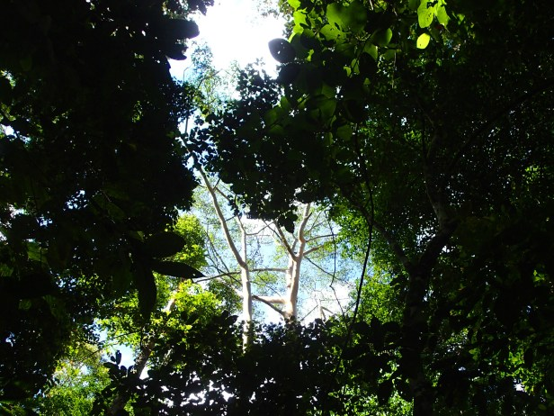 06 Ficus sp. cf. albipila. Nature Trail. Kawag. Dec. 2017. AL (86).JPG