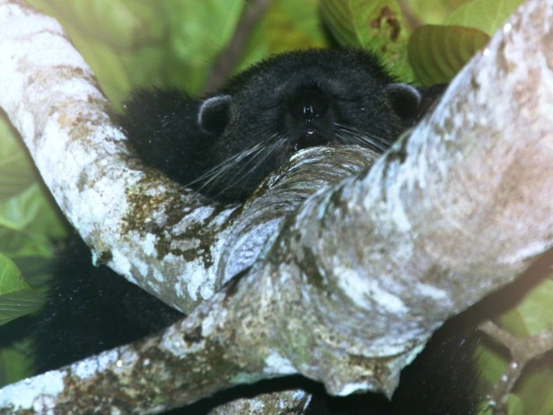 Binturong in Ficus callosa 03 .JPG