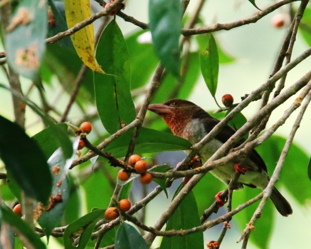 Brown Barbet IMG_1013.JPG