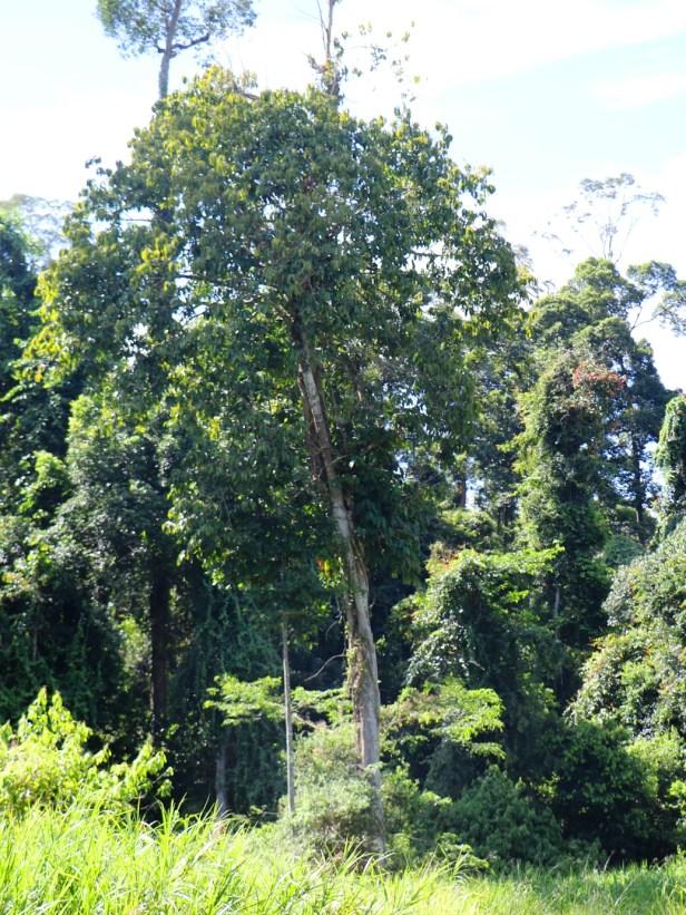 Ficus annulata  maliau 3Y3A1867.JPG