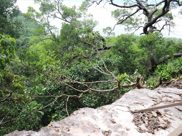 Ficus benghalensis IMG_2785.JPG