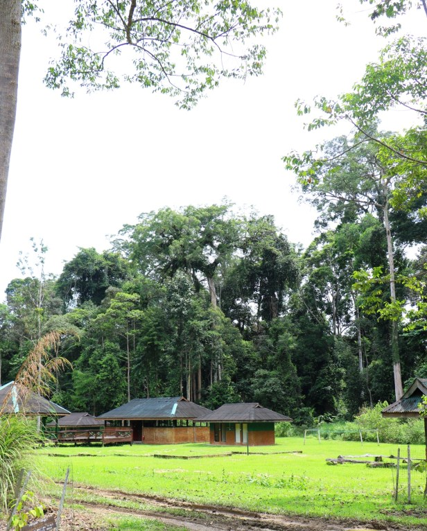 Ficus borneoensis IMG_0404