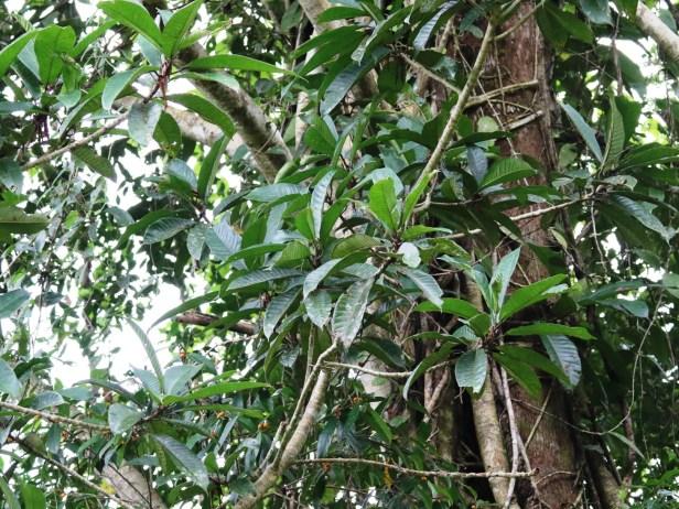 Ficus bracteata Berdanu 02