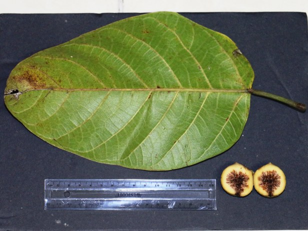 Ficus callosa 04.JPG