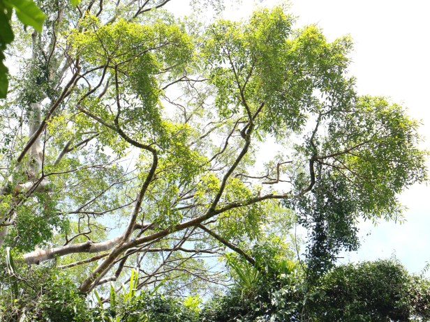 Ficus  caulocarpa IMG_0397.JPG