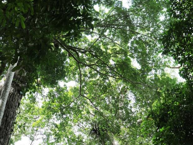 Ficus cucurbitina IMG_0437.JPG