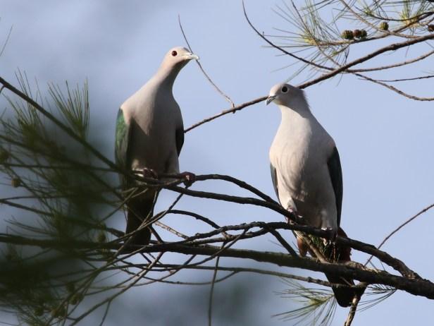 Ficus drupacea  Green Imperial Pigeon.JPG