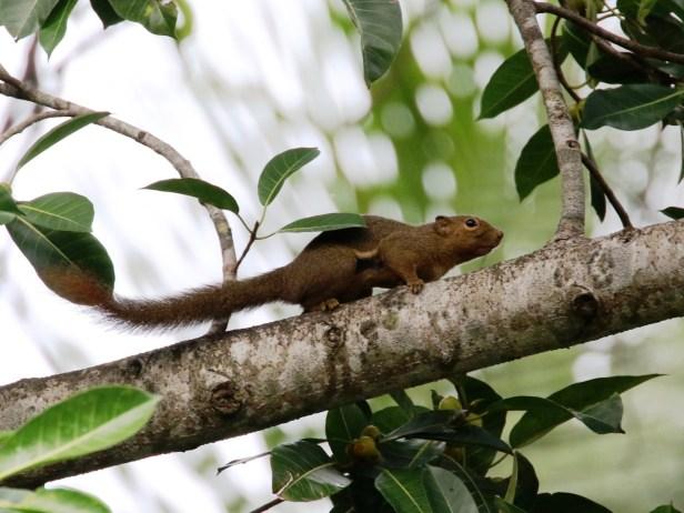 Ficus drupacea Plantain Squirrel.JPG