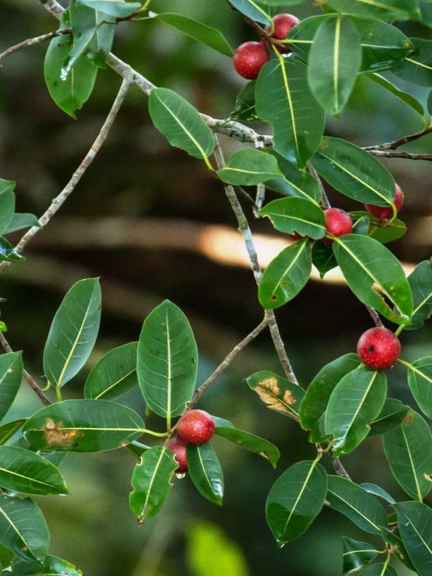 Ficus dubia 02 IMG_8750 (1) - Copy - Copy