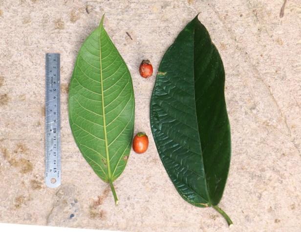 Ficus forstenii 10 IMG_0238.JPG