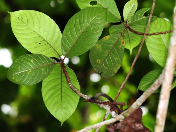 Ficus francisci  Berdanu 01 02 3Y3A0233.JPG
