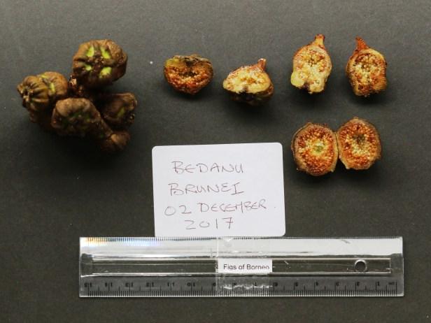 Ficus francisci  Berdanu 012  3Y3A0516.JPG
