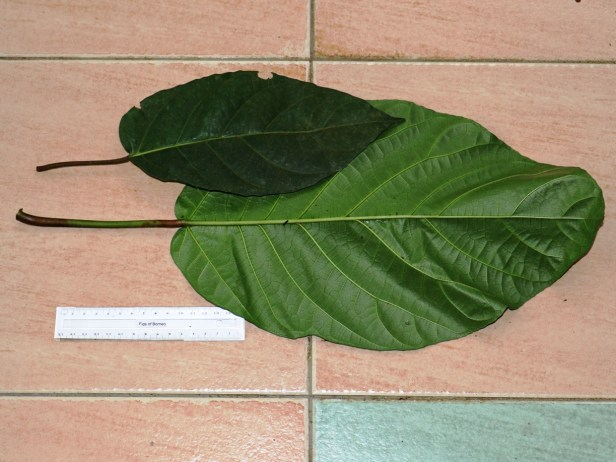Ficus grossularioides  Bako  IMG_2873.JPG