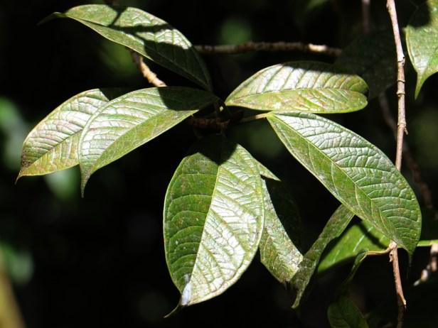 Ficus kochummeniana 05.JPG
