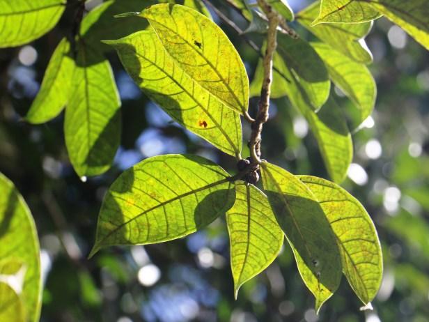 Ficus kochummeniana 06 IMG_2190.JPG