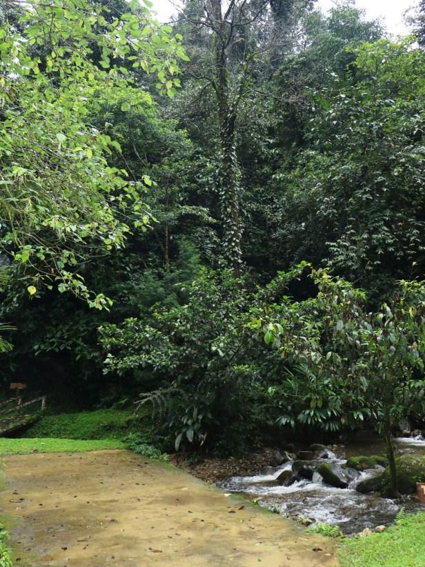 Ficus lepicarpa  Sayap IMG_0789.JPG