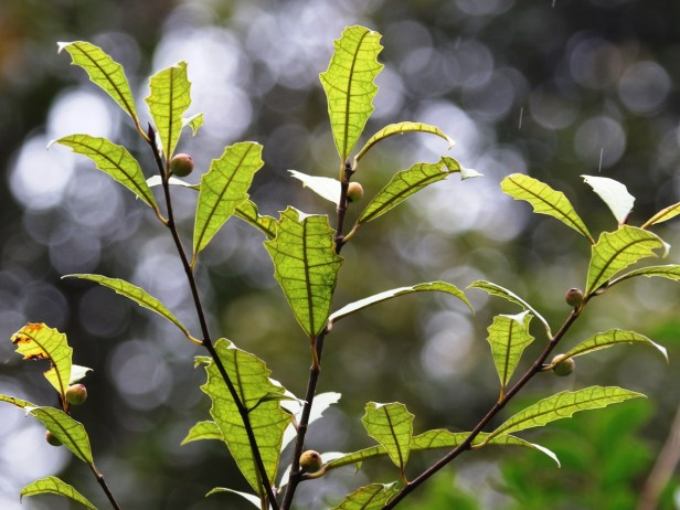 Ficus macilenta 01 3Y3A4371.JPG