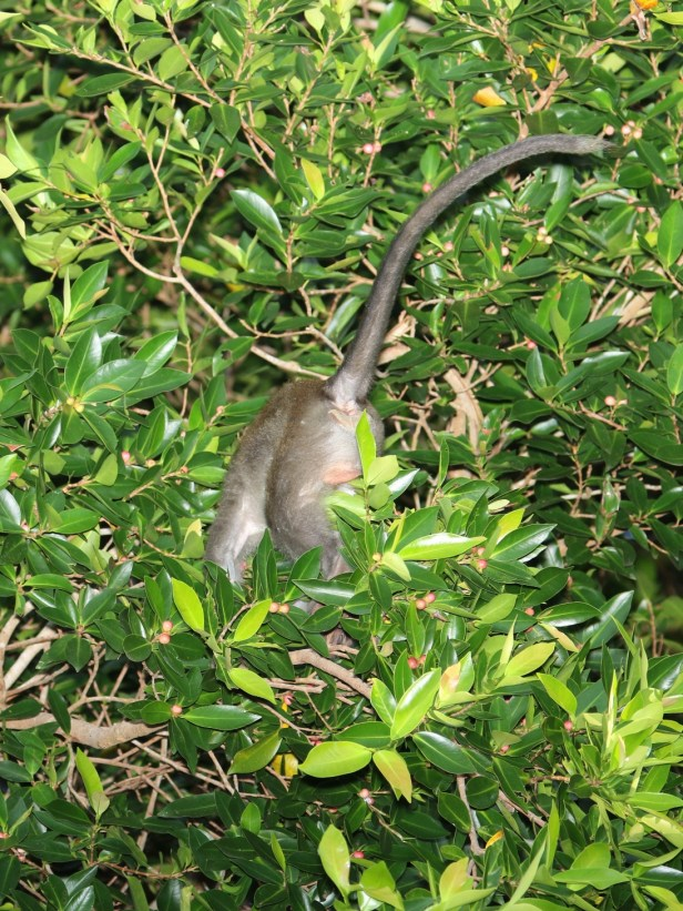 Ficus microcarpa IMG_3314.JPG