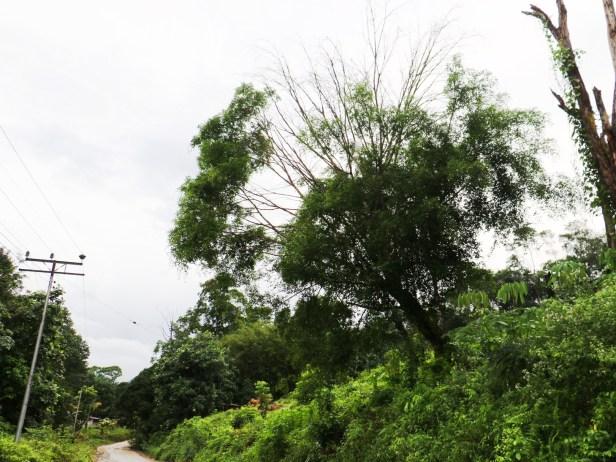 Ficus query Kg Sayap IMG_0888