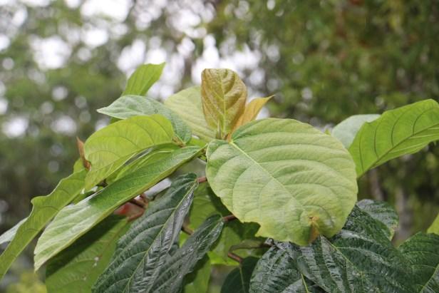 Ficus sattertheatei 02.JPG