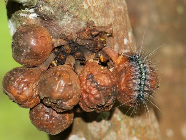 Ficus satterthwaitei 06 IMG_0028.JPG