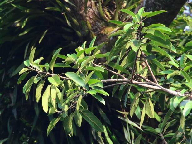 Ficus stupenda IMG_1364.JPG