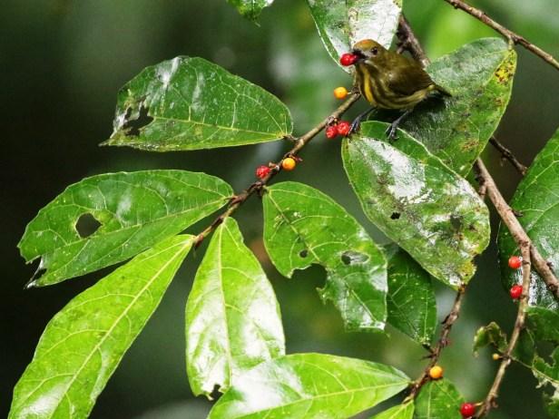 Arlene Yellow-breasted Flowerpecker 4 - Copy.JPG