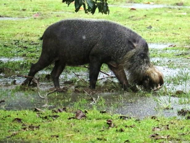 Bearded Pig Bako IMG_2156.JPG