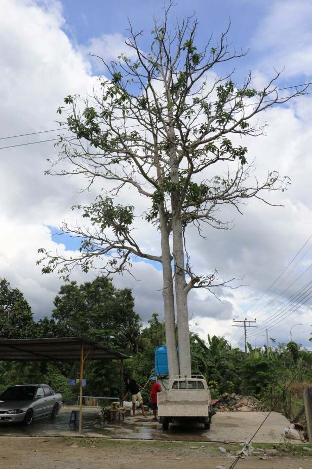 Ficus callosa IMG_1916.JPG