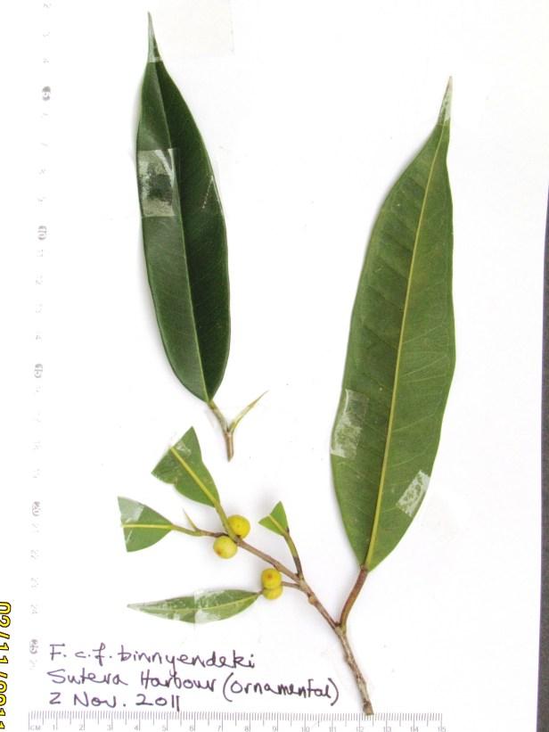 Ficus celebensis IMG_8261.JPG