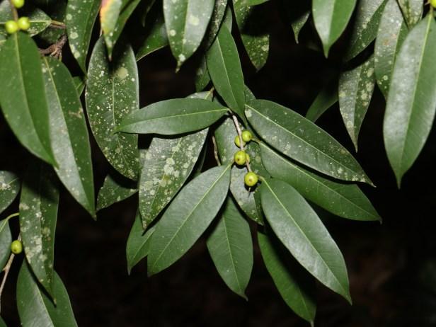 Ficus celebensis  TAP IMG_1175.JPG
