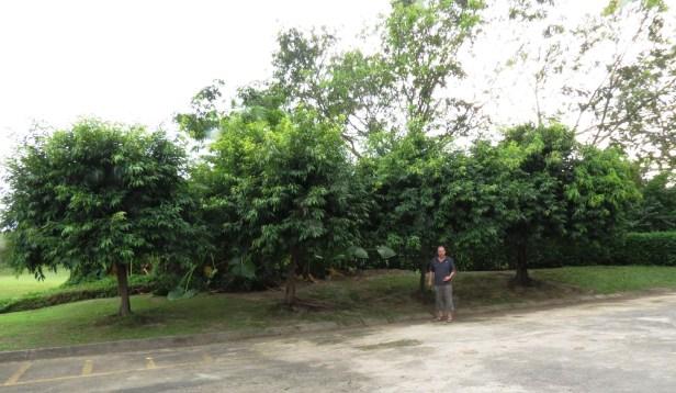 Ficus celebensis