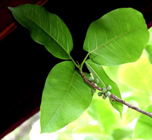 Ficus concinna IMG_9636.jpg