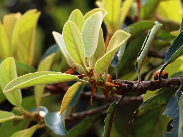 Ficus consociata IMG_0265.JPG