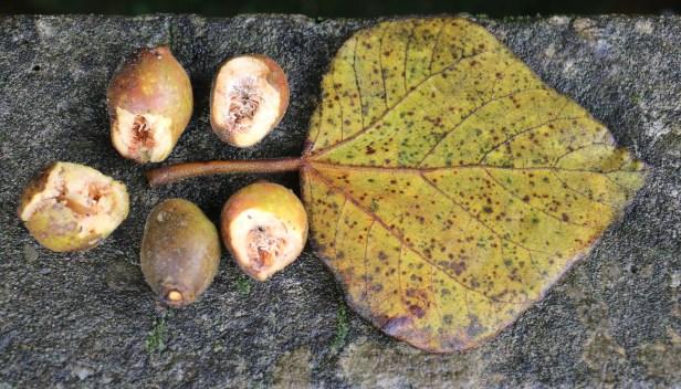 Ficus endospermifolia IMG_0649 - Copy.JPG