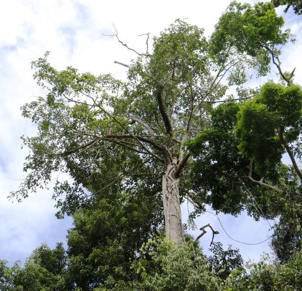 Ficus forstenii IMG_0364 - Copy.JPG