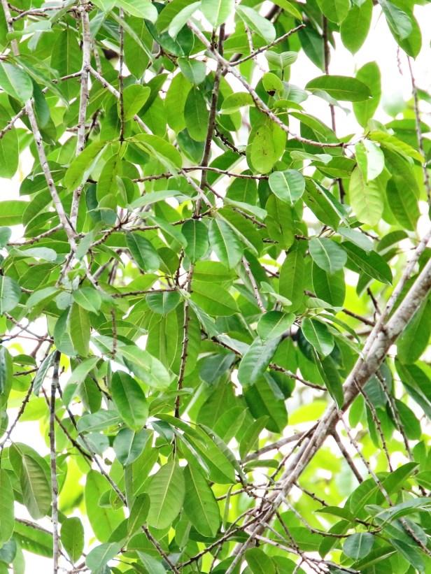 Ficus kerkhovenii 3Y3A1428 - Copy.JPG